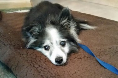 9e5e3ea4b1391f ... a senior Pomeranian mix from Cleveland Animal Care   Control. She has  now been spayed and had a much-needed dental. Peachie Keen is a very happy  dog ...